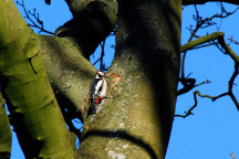 Grey Spotted Woodpecker